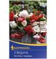 KIEPENKERL Blumenzwiebel Hängebegonie, Begonia Tuberhybrida, Blütenfarbe: mehrfarbig-Thumbnail