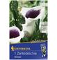 KIEPENKERL Blumenzwiebel Kalla, Canna Hybrida, Blütenfarbe: mehrfarbig-Thumbnail