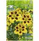 PEGASUS Blumenzwiebel Lilie, Lilium Hybrida, Blütenfarbe: gelb-Thumbnail