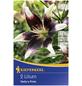 KIEPENKERL Blumenzwiebel Lilie, Lilium Hybrida, Blütenfarbe: mehrfarbig-Thumbnail