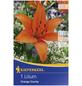 KIEPENKERL Blumenzwiebel Lilie, Lilium Hybrida, Blütenfarbe: orange-Thumbnail