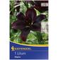KIEPENKERL Blumenzwiebel Lilie, Lilium Hybrida, Blütenfarbe: purpurfarben-Thumbnail
