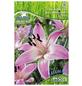 PEGASUS Blumenzwiebel Lilie, Lilium Hybrida, Blütenfarbe: rosa-Thumbnail