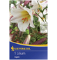 KIEPENKERL Blumenzwiebel Lilie, Lilium regale, Blütenfarbe: rosa-Thumbnail