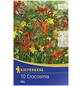 KIEPENKERL Blumenzwiebel Montbretie, Crocosmia crocosmiiflora, Blütenfarbe: mehrfarbig-Thumbnail