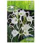 PEGASUS Blumenzwiebel Schönhäutchen, Hymenocallis festalis, Blütenfarbe: weiß-Thumbnail