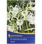 KIEPENKERL Blumenzwiebel Schönhäutchen, Hymenocallis narcissiflora, Blütenfarbe: weiß-Thumbnail