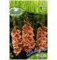 PEGASUS Blumenzwiebel Schwertblume, Gladiolus Hybrida, Blütenfarbe: rosa-Thumbnail