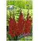 PEGASUS Blumenzwiebel Schwertblume, Gladiolus Hybrida, Blütenfarbe: rot-Thumbnail