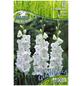 PEGASUS Blumenzwiebel Schwertblume, Gladiolus Hybrida, Blütenfarbe: weiß-Thumbnail