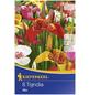 KIEPENKERL Blumenzwiebel Tigerblume, Tigridia pavonia, Blütenfarbe: mehrfarbig-Thumbnail