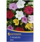 KIEPENKERL Blumenzwiebel Wunderblume, Mirabilis jalapa, Blütenfarbe: mehrfarbig-Thumbnail