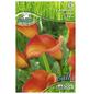 PEGASUS Blumenzwiebel Zantedeschie, Zantedeschia Hybrida, Blütenfarbe: orange-Thumbnail