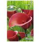 PEGASUS Blumenzwiebel Zantedeschie, Zantedeschia Hybrida, Blütenfarbe: rot-Thumbnail