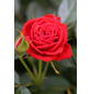 Bodendeckerrose  »Amber Cover®«, Rosa, Blüte: gelb-Thumbnail