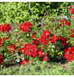 ROSEN TANTAU Bodendeckerrose Rosa hybride »Matador«-Thumbnail