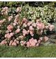 ROSEN TANTAU Bodendeckerrose Rosa hybride »Satina«-Thumbnail