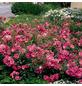 ROSEN TANTAU Bodendeckerrose Rosa X hybride »Mirato«, Rosa/pink-Thumbnail