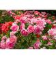 GARTENKRONE Bodendeckerrosen Bodendeckerrosen  »in Sorten«-Thumbnail