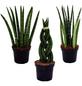 Bogenhanf 3er Set Sansevieria cylindrica-Thumbnail