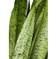 GARTENKRONE Bogenhanf Sanseveria hybrid-Thumbnail
