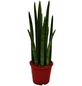 Bogenhanf Sansevieria cylindrica-Thumbnail