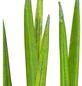 GARTENKRONE Bogenhanf Sansevieria hybrid 10 cm-Thumbnail