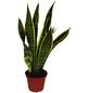Bogenhanf Sansevieria trifasciata »Laurentii«-Thumbnail