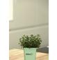 GREENBAR Bohnenkraut 3er Set, Satureja Montana, Blütenfarbe: weiß/lila-Thumbnail