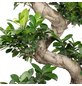Bonsai Feige Ficus  microcarpa »Ginseng Fuji«-Thumbnail