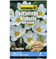 GARTENKRONE Botanischer Krokus Crocus Chrysanthus »Ard Schenk«, weiß-Thumbnail