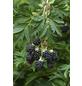 GARTENKRONE Brombeere Rubus fruticosus »Dornlos«-Thumbnail