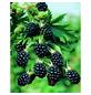 GARTENKRONE Brombeere Rubus fruticosus »Loch Ness -S-«-Thumbnail