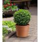 Buchsbaum, Buxus sempervirens »Arborescens«, Blattfarbe dunkelgrün-Thumbnail
