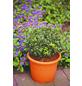 Buchsbaum, Buxus sempervirens arborescens, Blütenfarbe grün-Thumbnail