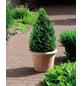Buchsbaum, Buxus sempervirens Arborescens, Blütenfarbe grün/gelb-Thumbnail
