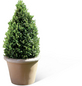 Buchsbaum, Buxus sempervirens arborescens, Blütenfarbe hellgrün-Thumbnail