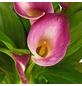 GARTENKRONE Calla Zantedeschia hybrid-Thumbnail