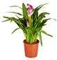 GARTENKRONE Calla, Zantedeschia hybrid, Blüte: mehrfarbig-Thumbnail