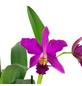 Cattleya-Orchidee, Cattleya, Blütenfarbe: mehrfarbig-Thumbnail