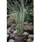 China-Schilf, Miscanthus sinensis »Morning Light«, aktuelle Pflanzenhöhe: 30-40 cm, grün-Thumbnail