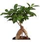 GARTENKRONE Chinesische Feige, Lorbeerfeige Ficus microcarpa »Ginseng«-Thumbnail