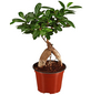 GARTENKRONE Chinesische Feige/Lorbeerfeige Ficus microcarpa 'Ginseng' 25 cm-Thumbnail