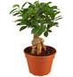 GARTENKRONE Chinesische Feige/Lorbeerfeige Ficus microcarpa 'Ginseng' 50 cm-Thumbnail