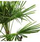 Chinesische Hanfpalme Fortunei Trachycarpus-Thumbnail