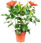Chinesischer Roseneibisch, Hibiscus rosa senensis »longlife«, Blüte: rot-Thumbnail