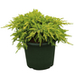 Chinesischer Wacholder chinensis Juniperus »Daub's Frosted«-Thumbnail