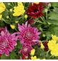Chrysantheme, Chrysanthemum indicum, max. Wuchshöhe: 100 cm, Blüte: mehrfarbig-Thumbnail