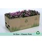 Chrysantheme, Chrysanthemum indicum, max. Wuchshöhe: 35 cm, Blüte: rosa-Thumbnail