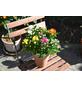 Chrysantheme, Dedranthema Hybriden »Rock ´n Roll«, Blüte: mehrfarbig-Thumbnail